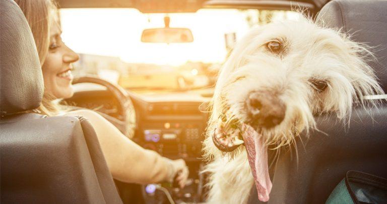 Chien qui tire la langue dans une voiture avec sa maitresse
