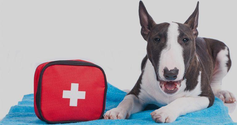 Bull Terrier sur une serviette bleue avec une trousse de secours