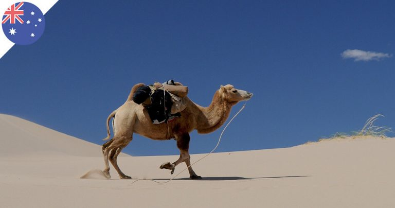 Un chameau dans le désert d'Australie