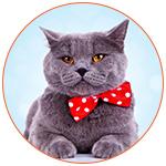 Très beau chat gris avec un noeud papillon rouge