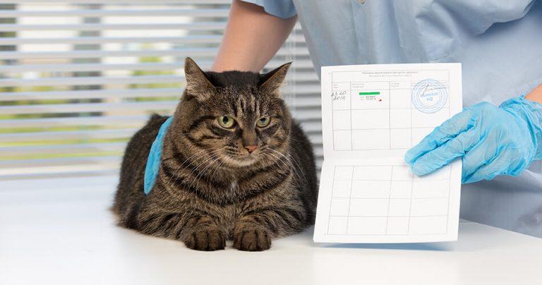 Joli chat chez le vétérinaire pour obtenir un passeport