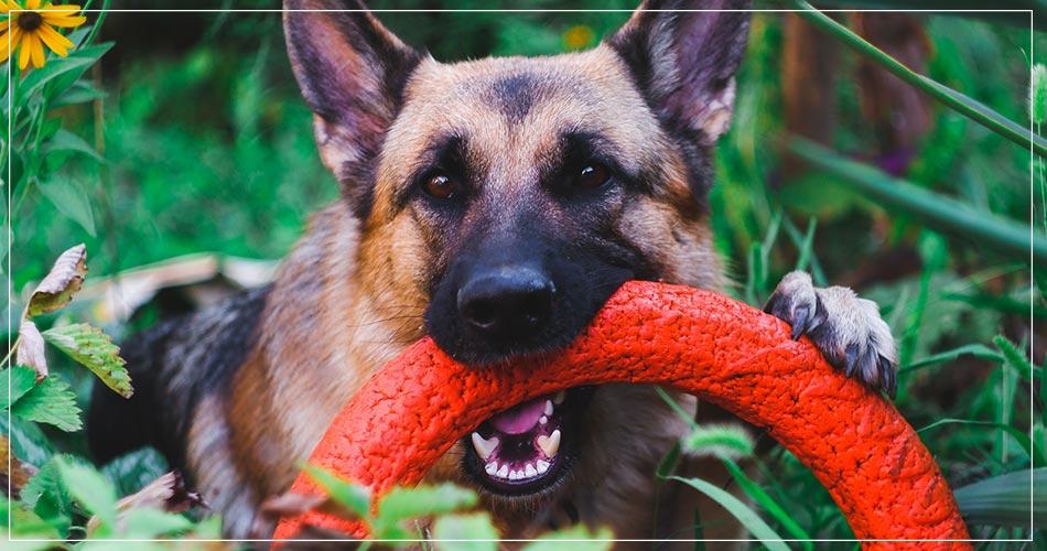 Berger allemand dans l'herbe avec un jouet rouge