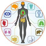 Illustration du corps humain avec les différents organes