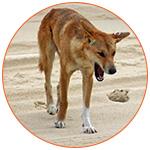 Un dingo dans le désert Australien