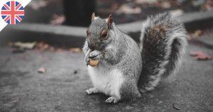 De l'écureuil au menu des restaurants britanniques