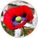 Une fleur d'opium de Tazmanie en Australie