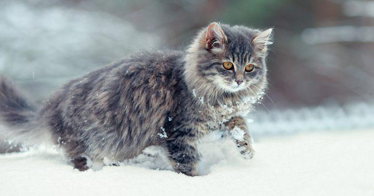 Magnifique gros chat gris dans la neige