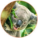 Gros plan sur la tête d'un koala dans un arbre