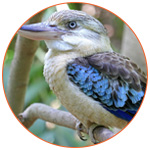 Photo d'un kookaburra, oiseau d'Australie