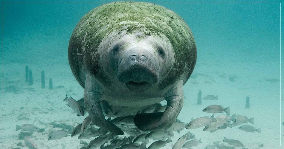 Incroyable photo d'un Manatee dans les eaux de Floride (USA)