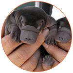 Magnifique petits ornithorynques dans les mains d'un vétérinaire.