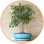 Plante dépolluante : Ficus Benjamina
