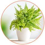 Plante dépolluante : Fougère - Nephrolepsis