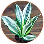 Plante dépolluante : Sanseveria Trifaciata - • La langue de belle-mère