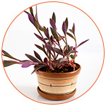 Plante dépolluante : Tradescantia Pallida