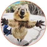 Photo amusante d'un irrésistible quokka d'Australie