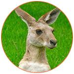 Tête d'un kangourou sur l'herbe en Australie