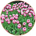 Tulipes roses à Central Park (USA)