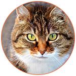 Gros plan sur le magnifique visage d'un chat roux