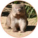 Photo d'un adorable wombat d'Australie